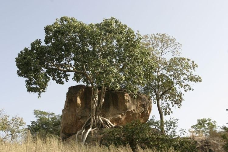Ficus abutilifolia wwwwestafricanplantssenckenbergdeimagespictur