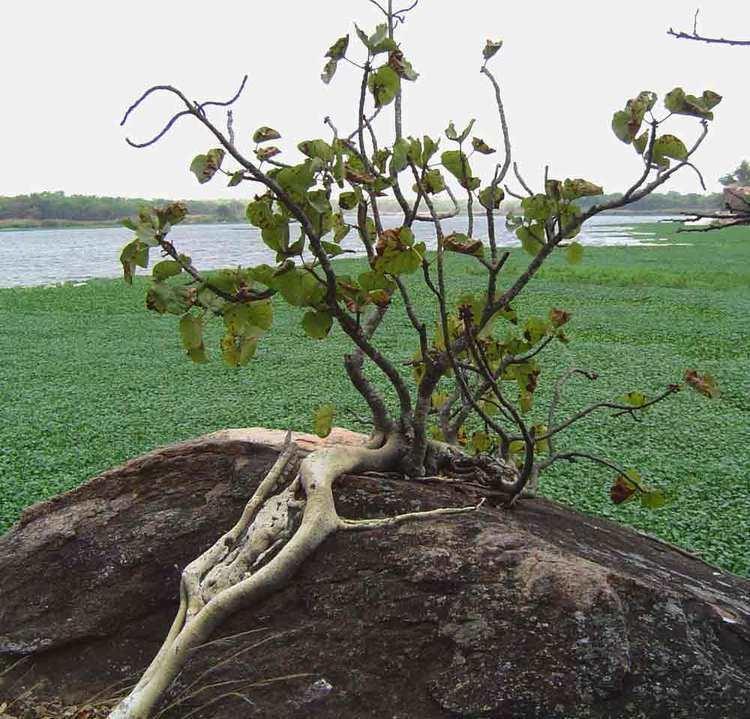 Ficus abutilifolia Flora of Mozambique Species information individual images Ficus