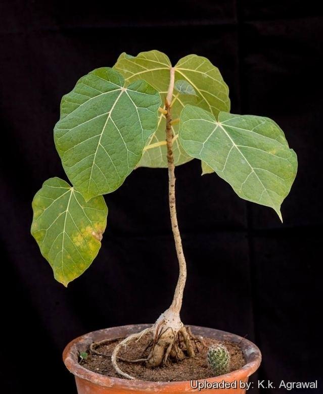 Ficus abutilifolia Ficus abutilifolia