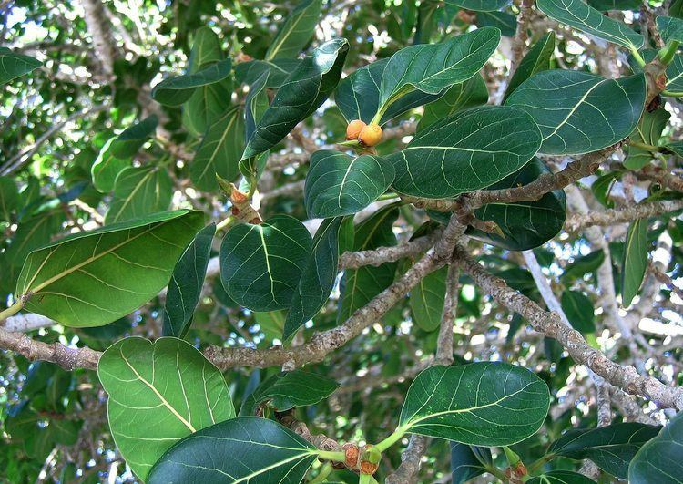 Ficus altissima Flora of Mozambique Cultivated species information individual