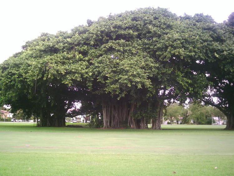 Ficus benghalensis Trees Planet Ficus benghalensis Banyan Tree