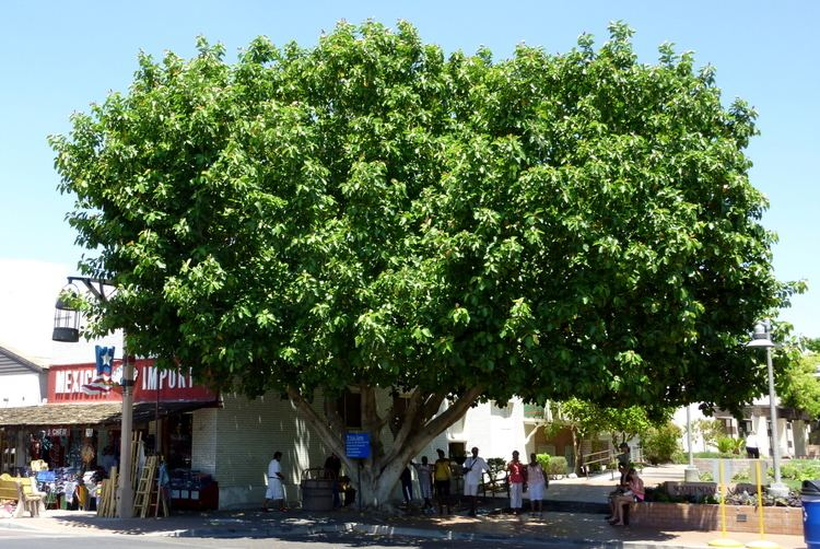 Ficus benghalensis Ficus benghalensisjpg