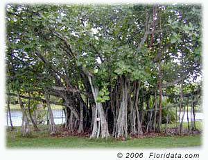 Ficus benghalensis floridatacomstaticimagesfficube1jpg