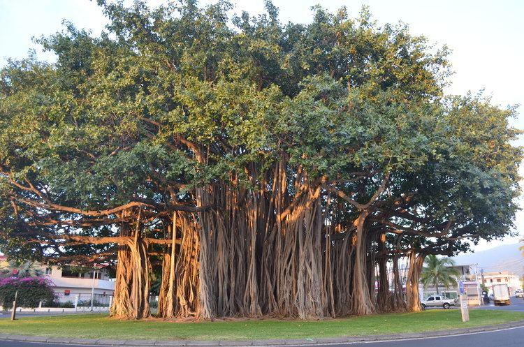 Ficus benghalensis Ficus benghalensis Album on Imgur