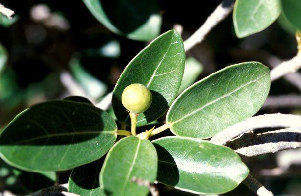 Ficus burtt-davyi Ficus burttdavyi FigWeb