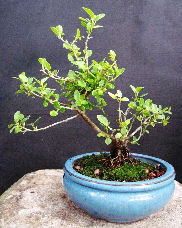 Ficus burtt-davyi Bonsai Beginnings Ficus Burttdavyi quotnanaquot