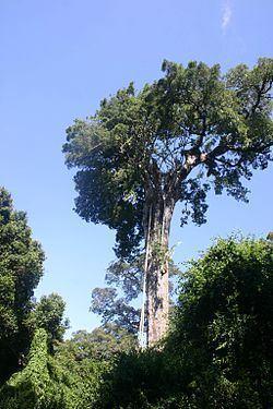 Ficus burtt-davyi httpsuploadwikimediaorgwikipediacommonsthu