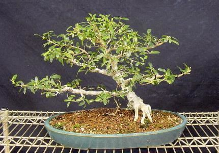 Ficus burtt-davyi Ficus burttdavyi Information