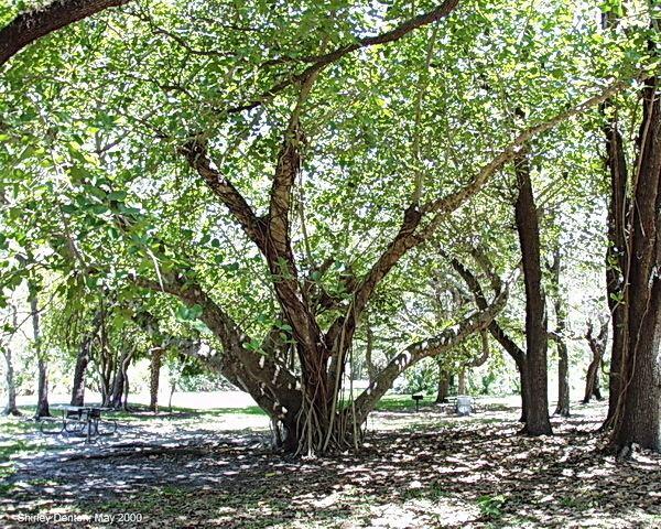 Ficus citrifolia Florida Native Plant Society