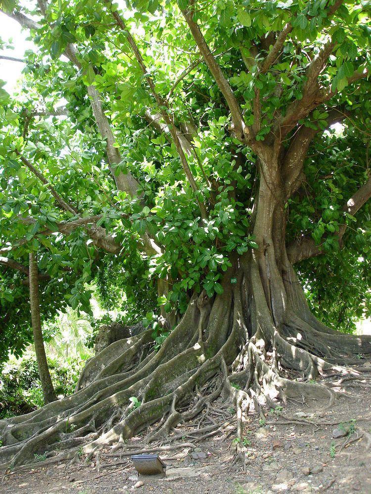 Ficus citrifolia Ficus citrifolia Wikipedia