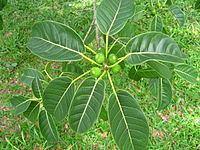 Ficus citrifolia httpsuploadwikimediaorgwikipediacommonsthu