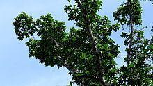 Ficus cyclophylla httpsuploadwikimediaorgwikipediacommonsthu