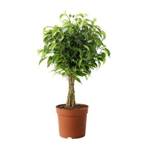 Ficus FICUS BENJAMINA 39NATASJA39 Potted plant Weeping fig 12 cm IKEA