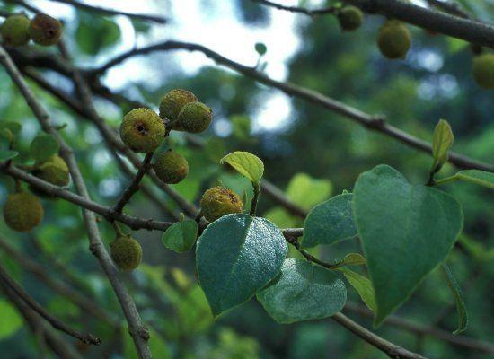 Ficus exasperata Ficus exasperata FigWeb
