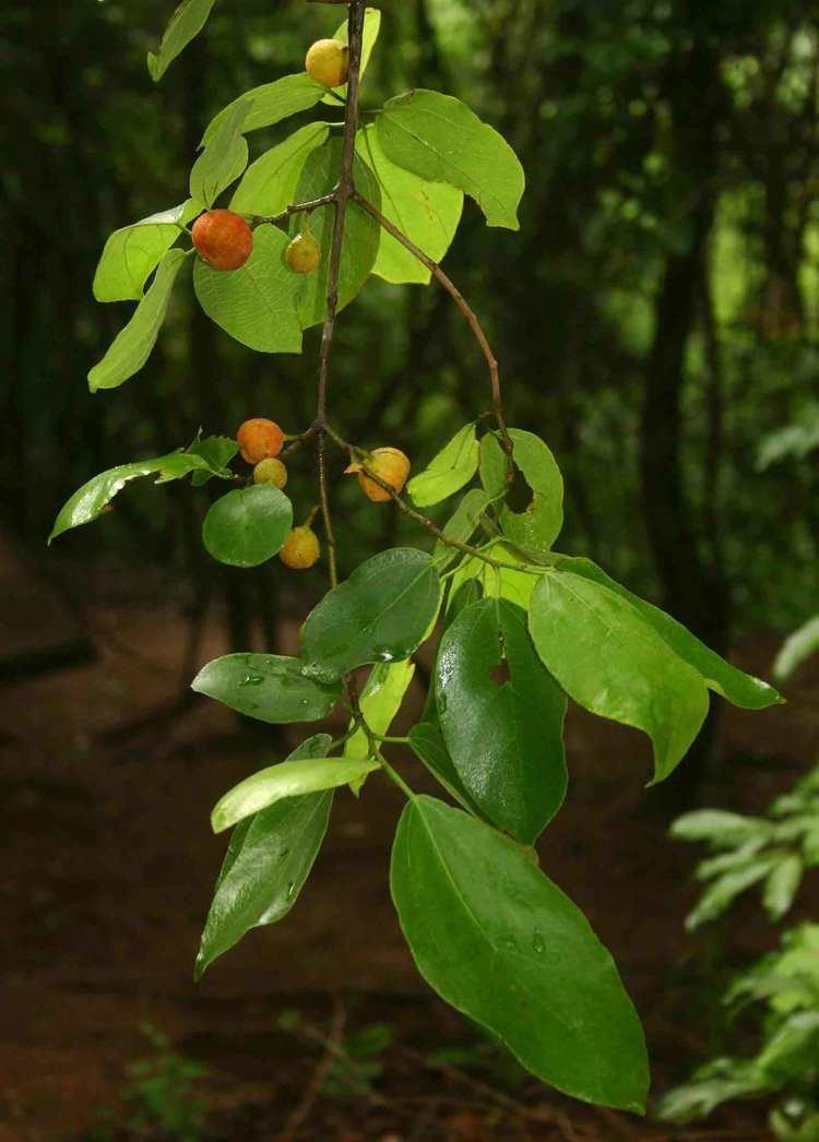 Ficus exasperata Flora of Zimbabwe Species information individual images Ficus