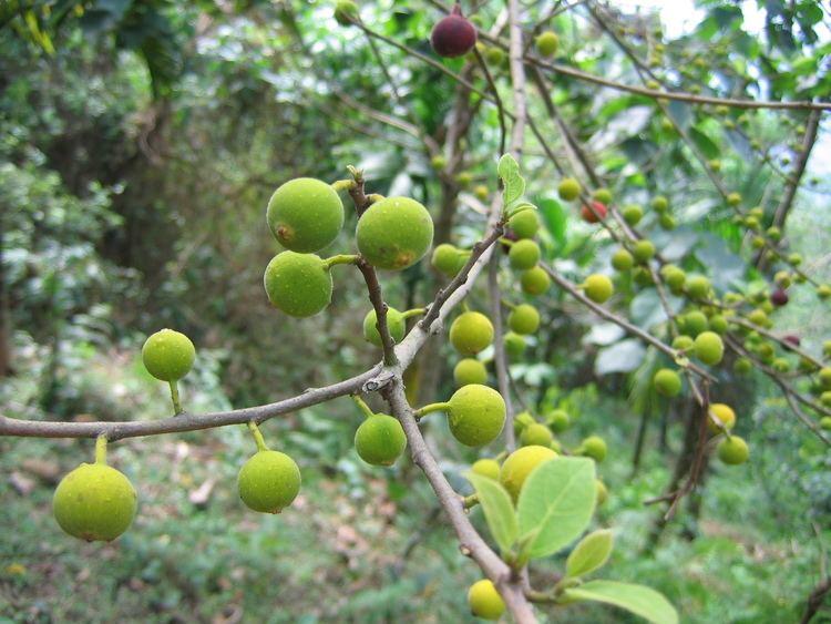 Ficus exasperata FileFicus exasperata 15jpg Wikimedia Commons