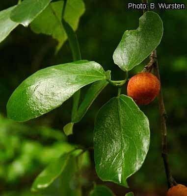 Ficus exasperata Protabase Record