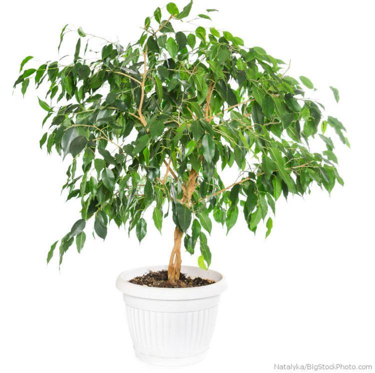Ficus Weeping fig ficus benjamina My House Plants