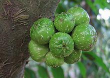 Ficus hispida Ficus hispida Wikipedia