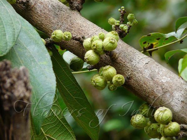 Ficus hispida Ficus hispida Hairy Fig