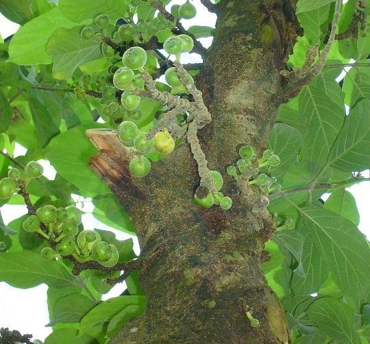 Ficus hispida httpsuploadwikimediaorgwikipediacommonsee