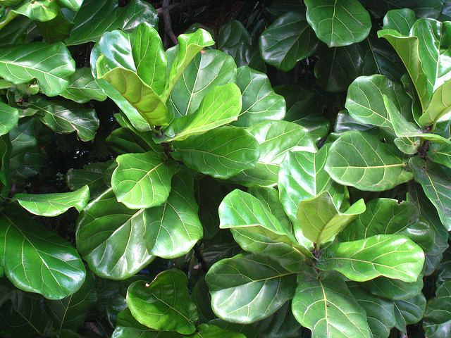Ficus lyrata Plants amp Flowers Ficus lyrata