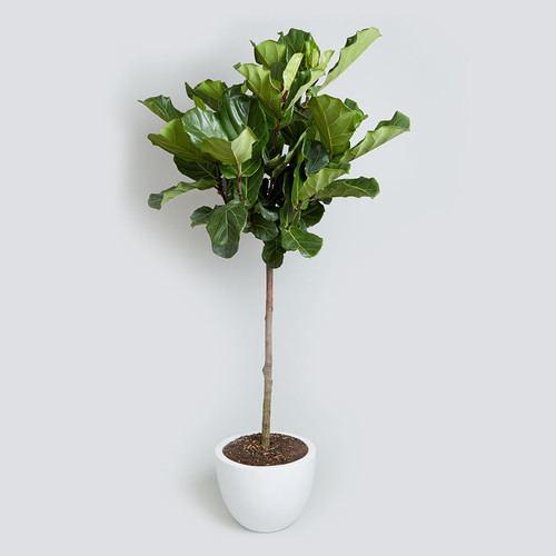 Ficus lyrata Fiddle Leaf Fig Ficus Lyrata Bush vs Tree