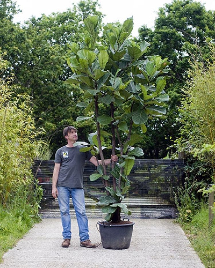 Ficus lyrata Ficus lyrata Fiddle leaf fig House of Plants