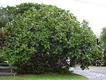 Ficus lyrata httpsuploadwikimediaorgwikipediacommonsthu