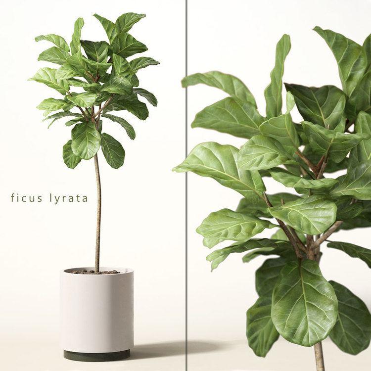 Ficus lyrata model of ficus lyrata