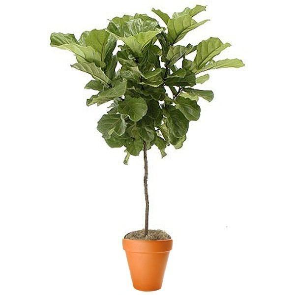 Ficus lyrata Lyrata Topiary Plant and Flower Delivery NYC Florist Plantshedcom