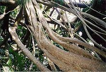 Ficus macrophylla f. columnaris httpsuploadwikimediaorgwikipediacommonsthu