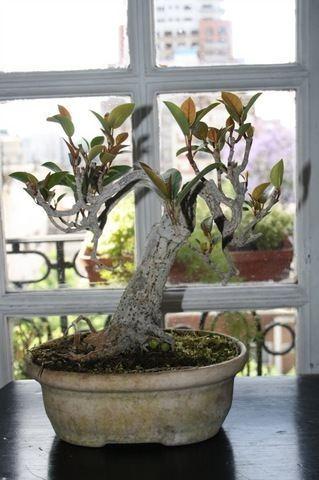 Ficus monckii Ficus monckii de Emi
