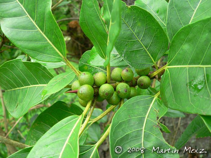 Ficus monckii Flora Digital do Rio Grande do Sul e de Santa Catarina Ficus