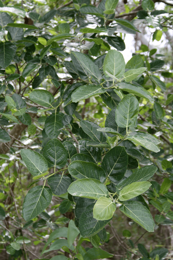 Ficus opposita Ficus opposita Archives The Figs of Australia