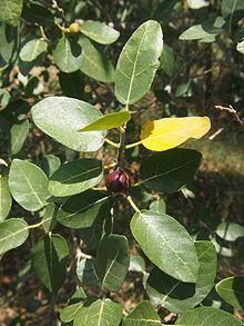 Ficus opposita httpsuploadwikimediaorgwikipediacommonsthu