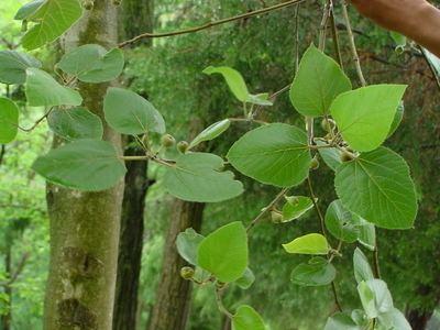 Ficus palmata Ficus palmata Species India Biodiversity Portal