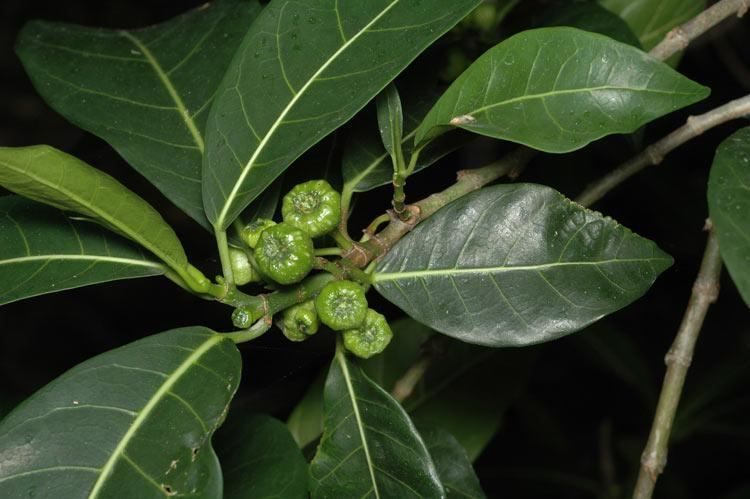 Ficus septica Ficus septica Images Useful Tropical Plants
