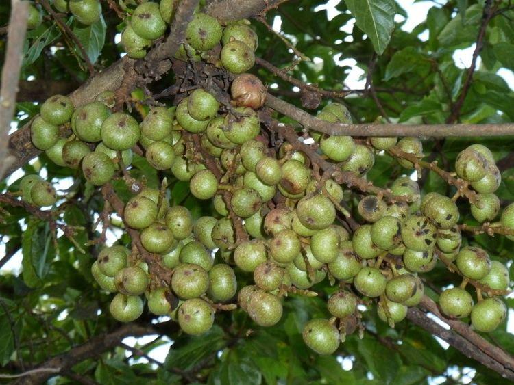 Ficus sur FileFicus sur vyetros Louwsburgjpg Wikimedia Commons