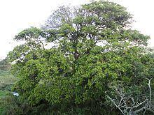 Ficus sur httpsuploadwikimediaorgwikipediacommonsthu