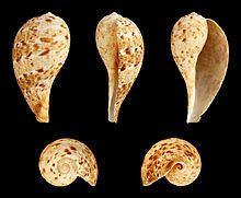 Ficus variegata (gastropod) httpsuploadwikimediaorgwikipediacommonsthu