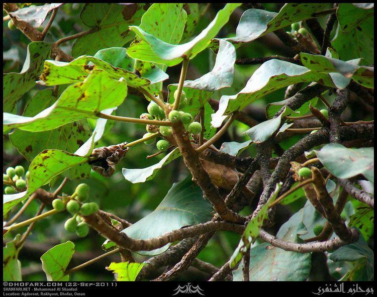 Ficus vasta Young Vast Fig Ficus vasta in Agdorout Rakhyout Dhofar Flickr