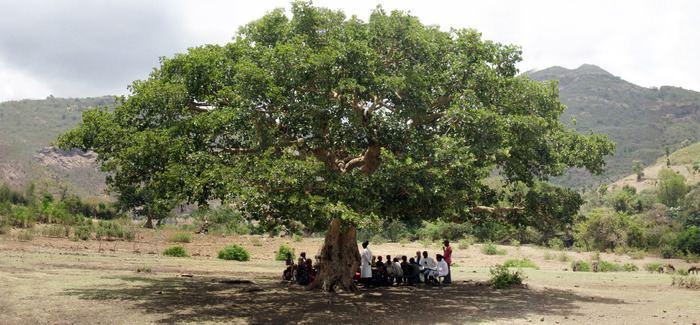 Ficus vasta Warka Water Each Drop Counts Beautiful Lands