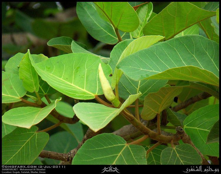 Ficus vasta Vast Fig Ficus vasta Leaves in Gogub Salalah Dhofar Flickr