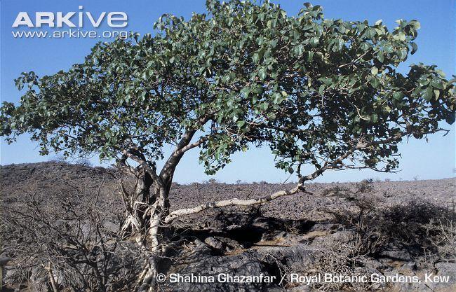 Ficus vasta Ficus videos photos and facts Ficus vasta ARKive