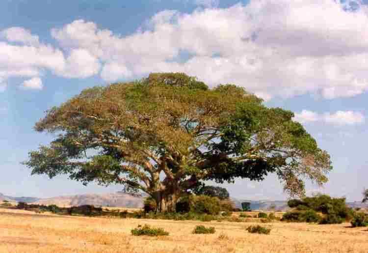 Ficus vasta wwwafricaupennedufaminefoodimagesFicusvasta