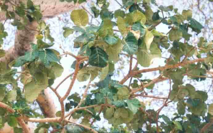 Ficus vasta category3