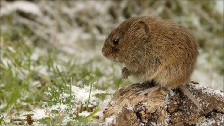 Field vole Scottish field vole plague reaches record level BBC News