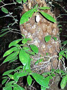 Fieldia (plant) httpsuploadwikimediaorgwikipediacommonsthu