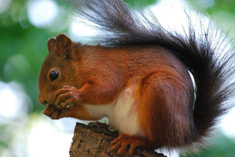 Fiery squirrel